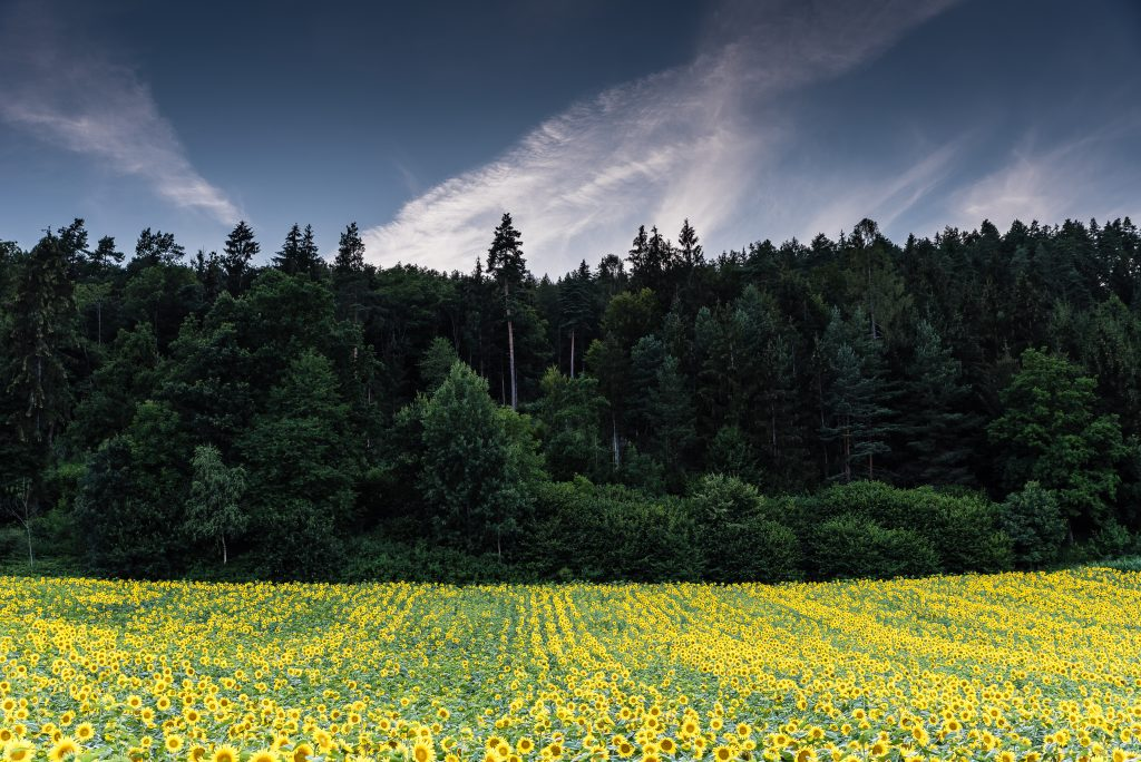 Landschaftsfoto: Sonnenblumenfeld am Waldrand